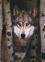 Пазл Волк 1000 эл - 1