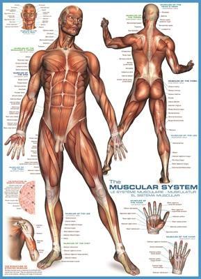 Пазл Мышцы человека 1000 эл - 1